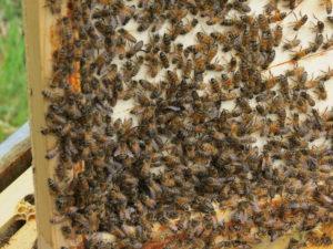 suivi des colonies d'abeille - apiculture